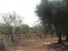 Olive and almond-growing soil. - 6
