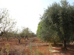 Olive and almond-growing soil. - 9