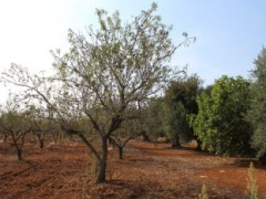 Olive and almond-growing soil. - 10