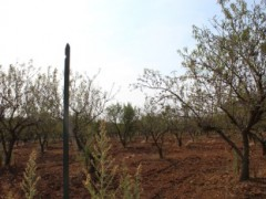 Olive and almond-growing soil. - 5